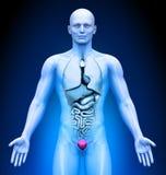 Medical Imaging - Male Organs - Bladder. Human body - Medical Imaging - Male Organs - Bladder Stock Photography