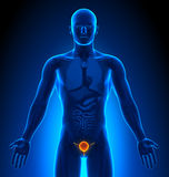 Medical Imaging - Male Organs - Bladder Stock Photos