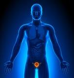 Medical Imaging - Male Organs - Bladder Stock Photos