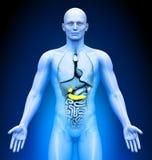 Medical Imaging - Male Organs - Gallbladder / Pancreas. Human body - Medical Imaging - Male Organs - Gallbladder / Pancreas Stock Image