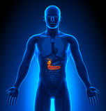 Medical Imaging - Male Organs - Gallbladder / Pancreas Stock Photography