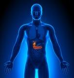 Medical Imaging - Male Organs - Gallbladder / Pancreas. Human body - Medical Imaging - Male Organs - Gallbladder / Pancreas Stock Photography