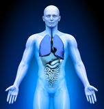 Medical Imaging - Male Organs - Lungs Royalty Free Stock Photography