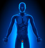 Medical Imaging - Male Organs - Prostate Royalty Free Stock Photo