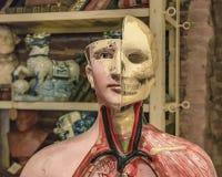 Human Body Model at Antique Shop. Medicine human body model at antique shop, San Telmo, Argentina stock photos