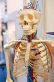 Human Body Model, bones.  royalty free stock photo
