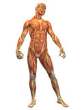 Human Body Muscle - Male Front. The male anatomy as it appears under the skin showing the mapping of muscle in the human body Royalty Free Stock Photos