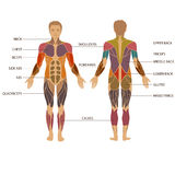 Human body, muscle. Vector muscular human body, muscle man anatomy Stock Photography