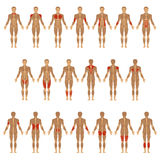 Human body, muscle Stock Images