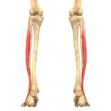 Human Body Muscles Anatomy (Peroneus Longus). 3D Illustration of Human Body Muscles Anatomy (Peroneus Longus stock illustration