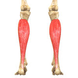 Human Body Muscles Anatomy (Soleus). 3D Illustration of Human Body Muscles Anatomy (Soleus royalty free illustration