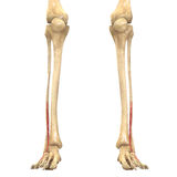 Human Body Muscles Anatomy (Vastus Lateralis) Royalty Free Stock Photos