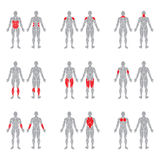 Human body muscles Royalty Free Stock Photography