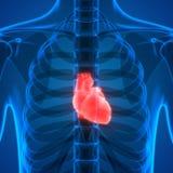 Human Body Organs Anatomy (Heart). 3D Illustration of Human Body Organs Anatomy (Heart Stock Photography