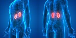 Human Body Organs Anatomy Kidneys. 3D Illustration of Human Body Organs Anatomy Kidneys Royalty Free Stock Photo