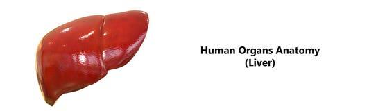 Human Body Organs Anatomy Liver Stock Photos
