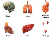 Human Body Organs AnatomyBrain, Lungs, Digestive system, Heart, Liver with Kidneys stock illustration