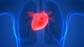 Human Body Organs Heart Anatomy Posterior view Royalty Free Stock Photos