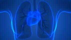 Human Body Organs Heart Anatomy Posterior view Stock Image