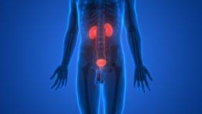 Human Body Organs (Kidneys Anatomy) Stock Image