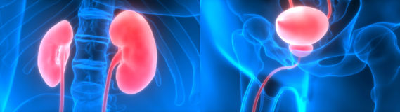 Human Body Organs Kidneys with Urinary Bladder. 3D Illustration of Human Body Organs Kidneys with Urinary Bladder Stock Photos