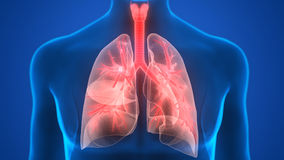 Human Body Organs (Lungs Anatomy). 3D Illustration of Human Body Organs (Lungs Anatomy royalty free illustration