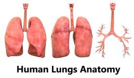 Human Body Organs Lungs Anatomy. 3D Illustration of Human Body Organs Lungs Anatomy Royalty Free Stock Image