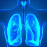 Human Body Organs Lungs Anatomy Stock Image