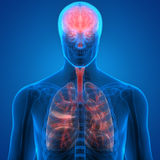 Human Body Organs Lungs and Brain Royalty Free Stock Photos