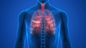 Human Body Organs (Lungs) Stock Photography