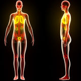 Human Body Organs (Lungs with Kidneys) Royalty Free Stock Photography