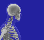The human body (organs) by X-rays on blue background. High resolution Royalty Free Stock Photography
