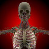 The human body (organs) by X-rays on red background stock illustration