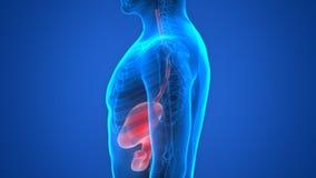 Human Body Organs (Stomach Anatomy) vector illustration