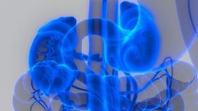 Human Body Organs Urinary System Kidneys Anatomy royalty free illustration