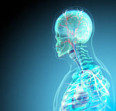 The human body (organs) by X-rays on blue background Stock Photos