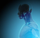 The human body (organs) by X-rays on blue background Royalty Free Stock Images