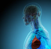 The human body (organs) by X-rays on blue background Stock Photo
