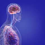 The human body (organs) by X-rays on blue background Stock Photography