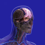 The human body (organs) by X-rays on blue background Royalty Free Stock Image