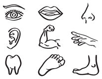 Human Body Parts Vector Illustration in Line Art Style. Vector illustration of human body parts, eye, mouth, nose, ear, arm, hand, tooth and foot isolated on Stock Photo