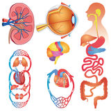 Human Body Parts Vector Set Royalty Free Stock Images