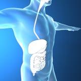 Human body by X-rays, digestive system stock illustration
