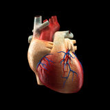 Real Heart Isolated on black - Human Anatomy model Stock Photo