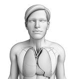 Human body respiratory system Stock Photos