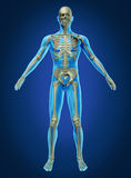 Human Body and Skeleton Stock Photo