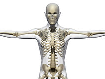 Human body and skeleton Royalty Free Stock Image