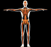 Human body and skeleton Stock Images