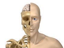 Human body, skeleton and brain Royalty Free Stock Photo