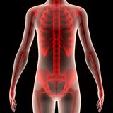 Human Body with Skeleton Stock Images